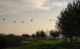 飞行在自然的起重机在黄昏 免版税库存图片