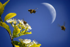 飞行在花附近的蜂 库存照片