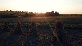 飞行在草甸在日落 母牛在日落的草甸 股票视频