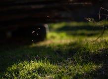 飞行在草的蚊子在阳光下 库存图片