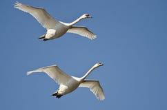 飞行在蓝天的对疣鼻天鹅 免版税库存照片