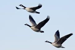 飞行在蓝天的三只加拿大鹅 免版税库存图片