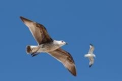 飞行在蓝天的两只海鸥。 图库摄影
