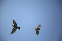 飞行在蓝天的两只灰色鸽子 库存图片