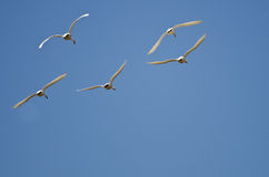 飞行在蓝天的五只寒带苔原天鹅 库存图片