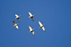 飞行在蓝天的五只野鸭鸭子 库存图片