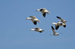 飞行在蓝天的六只雪雁 免版税库存图片