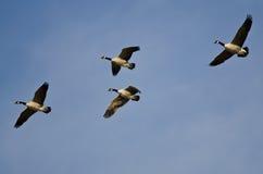 飞行在蓝天的四只加拿大鹅 库存图片