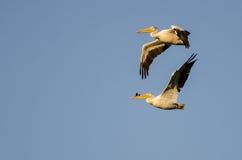飞行在蓝天的对美国白色鹈鹕 库存照片
