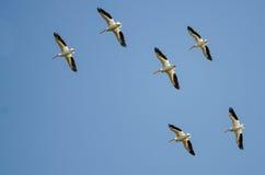飞行在蓝天的美国白色鹈鹕群  免版税库存图片