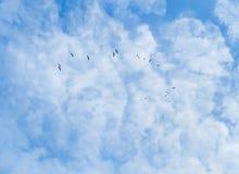 飞行在蓝天的苍鹭群  免版税库存照片