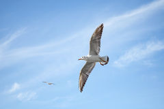 飞行在蓝天背景的白色海鸥 免版税库存图片