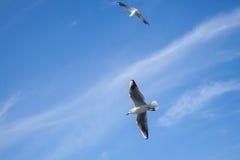 飞行在蓝色多云天空的两只白色海鸥 库存照片