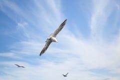 飞行在蓝色多云天空背景的海鸥 免版税库存照片