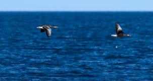 飞行在蓝色大西洋的两只鹅在雷克雅未克,冰岛附近在6月上旬早晨 免版税库存图片