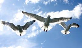 飞行在蓝色海的天空的三只海鸥 库存图片