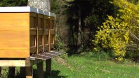 飞行在蜂箱子附近的蜜蜂 股票视频