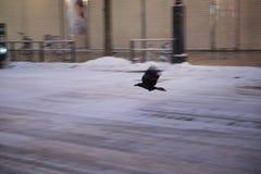 飞行在街道的乌鸦 库存照片