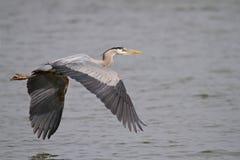 飞行在詹姆斯河的伟大蓝色的苍鹭的巢 库存照片