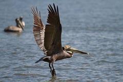 飞行在詹姆斯河的鹈鹕 图库摄影