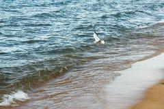 飞行在贝加尔湖海和海滩的海鸥 免版税库存照片