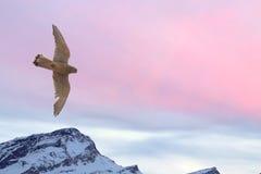 飞行在雪山背景的旅游猎鹰 库存图片