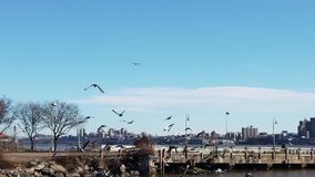 飞行在面对纽约的哈得逊河的一个组装的鸽子 股票录像