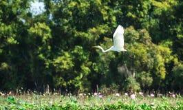 飞行在领域莲花的白色鹳鸟 免版税库存图片