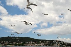 飞行在马尔马拉海上的大海鸥,有王子海岛背景在伊斯坦布尔附近,土耳其 免版税库存照片