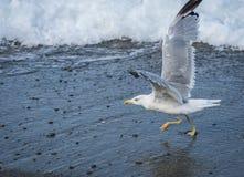 飞行在黑海波浪的海鸥在索契,俄罗斯 免版税库存照片
