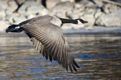 飞行在冻冬天河的加拿大鹅 免版税库存图片