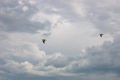 飞行在黑暗的风暴多云天空的两只海鸥 免版税库存图片