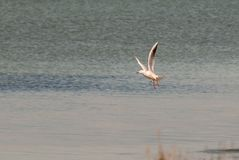 飞行在3月Menor期间的海鸥穆尔西亚 免版税库存照片