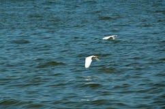飞行在水的两伟大的白色白鹭 免版税图库摄影