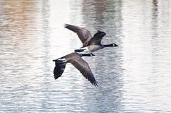 飞行在水的两只加拿大鹅 库存图片