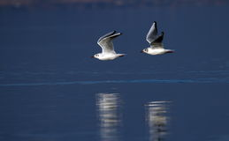 飞行在水的两只黑带头的鸥 免版税图库摄影