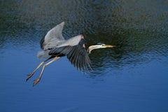 飞行在水的伟大蓝色的苍鹭的巢 免版税图库摄影