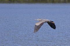 飞行在水的伟大蓝色的苍鹭的巢 免版税库存照片