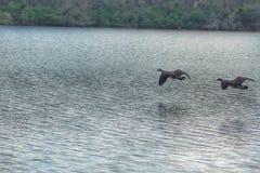 飞行在水的加拿大鹅 免版税库存照片