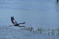 飞行在水的灰色苍鹭 免版税库存照片