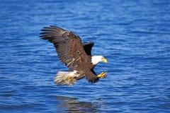 飞行在水的白头鹰 免版税库存照片