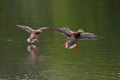 飞行在水的表面的上鸭子 免版税图库摄影