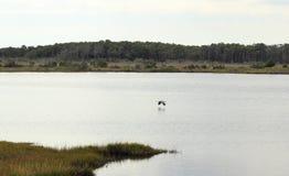 飞行在水的鸟 免版税图库摄影