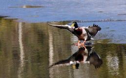 飞行在水的鸭子着陆 库存图片