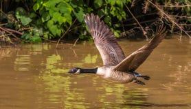 飞行在水的更加伟大的加拿大鹅 库存照片
