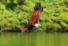 飞行在水的Brahminy风筝 免版税库存照片