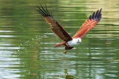飞行在水的Brahminy风筝 免版税库存图片