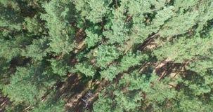 飞行在绿色具球果森林上 股票录像