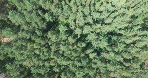 飞行在绿色具球果森林上 影视素材