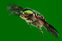 飞行在绿色隔绝的冶金匠甲虫 库存图片